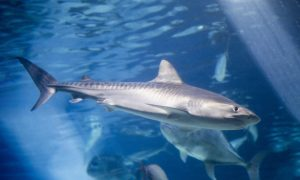 Tiger Shark at the Maui Ocean Center